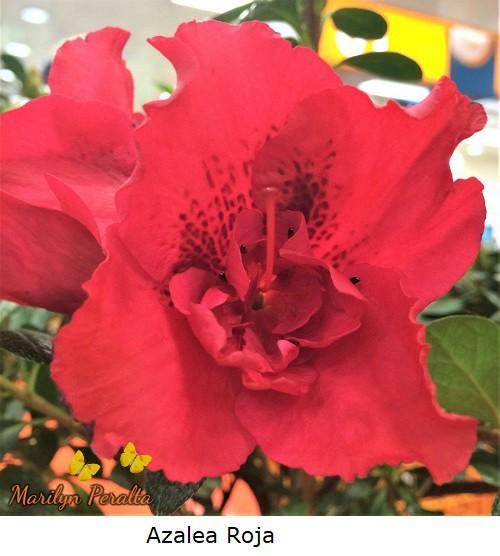 Azalea color rojo.
