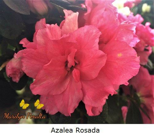 Azalea color rosado