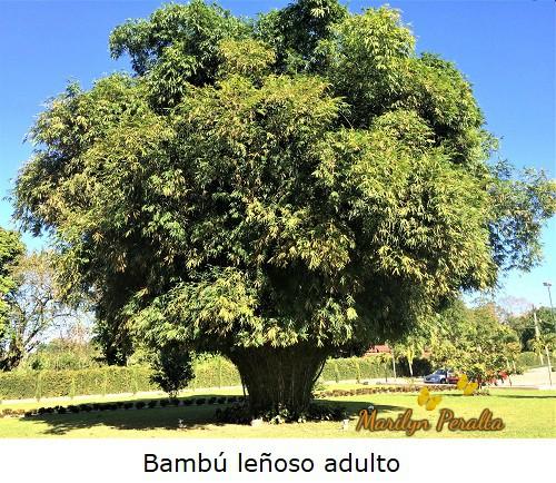 Bambu leñoso de gran tamaño.