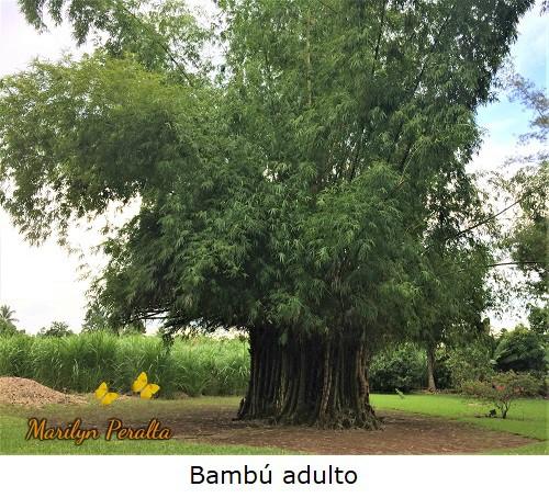 El Bambú en su tamaño adulto.