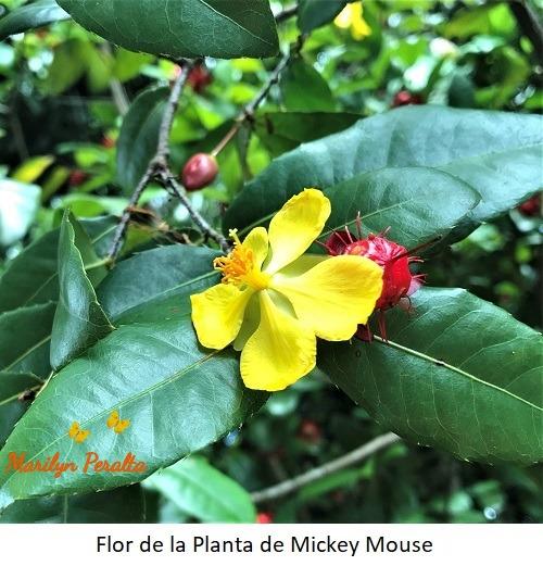 Flor de la Planta de Mickey Mousse