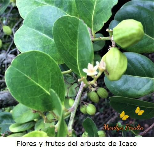 Flores pequeñas y frutos verdes del árbol de Icaco