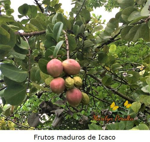 Fruto en forma de drupa del Icaco