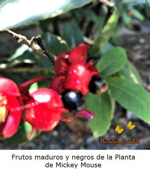 Frutos maduros negros Planta Mickey Mouse