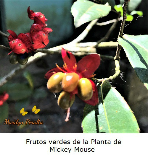 Frutos verdes Planta Mickey Mouse.