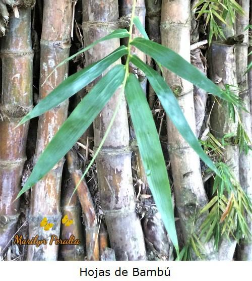 Hojas lineales de Bambú