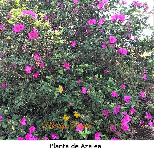 Planta de Azalea