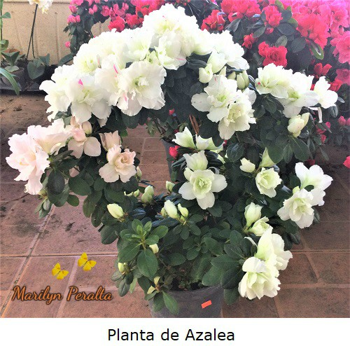 Planta de Azalea o Rododendro