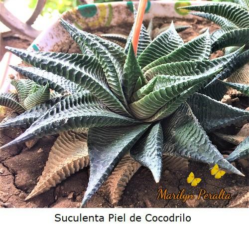 La planta de Piel de Cocodrilo, suculenta de hojas carnosas con verrugas longitudinales