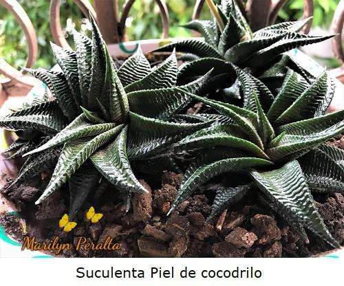 Planta Suculenta o crasa Piel de Cododrilo