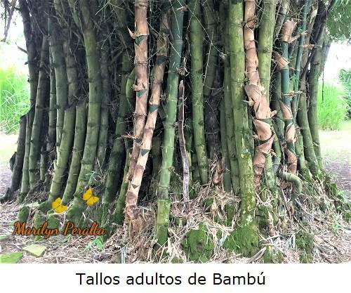 Tallo adulto de Bambú en forma de caña.