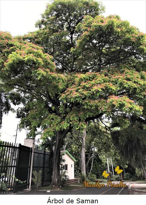 Árbol de Saman o Árbol de la Lluvia