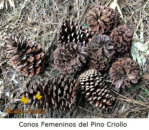 Conos femeninos secos del Pino Criollo