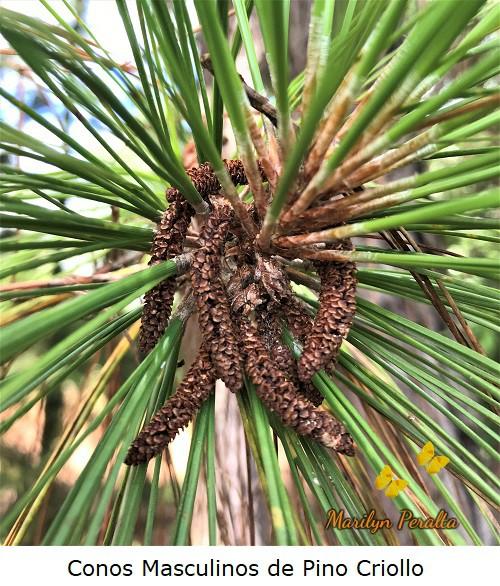Conos masculinos secos de Pino Criollo