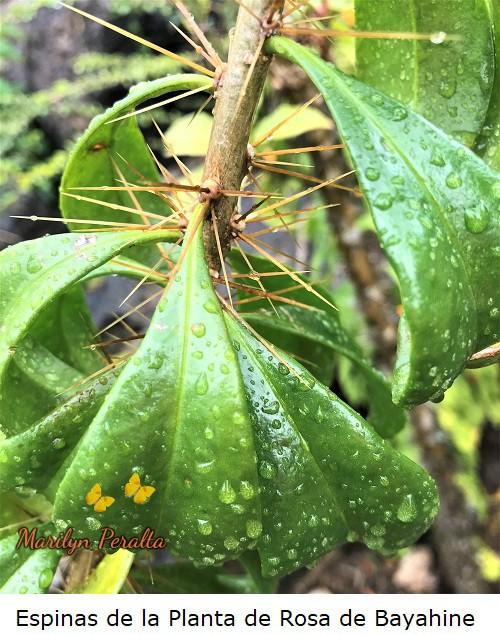 Espinas en la planta de Rosa de Bayahibe.