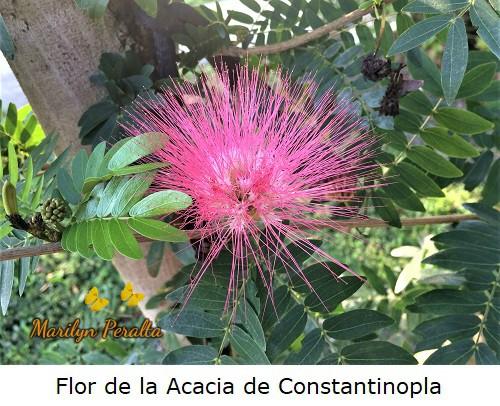 Flor de la Acacia de Constantinopla.