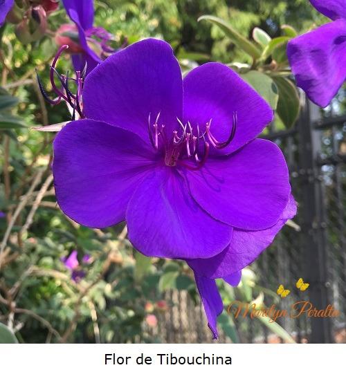 Flor de Tibouchina A
