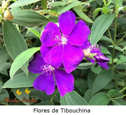 Flor de Tibouchina