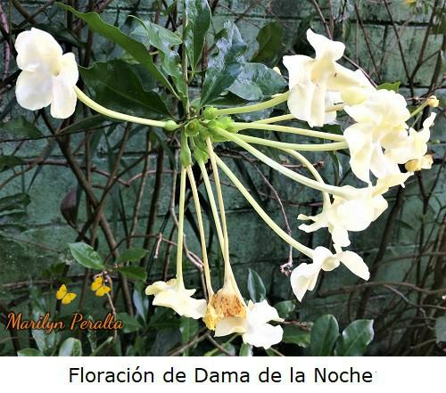 Floracion del arbusto de Dama de la Noche