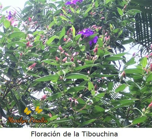 Capullos rojos de las flores de Tibouchina.