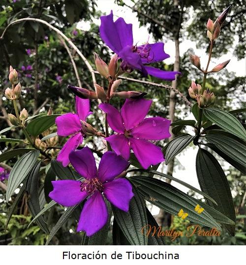 Floracion de Tibouchina