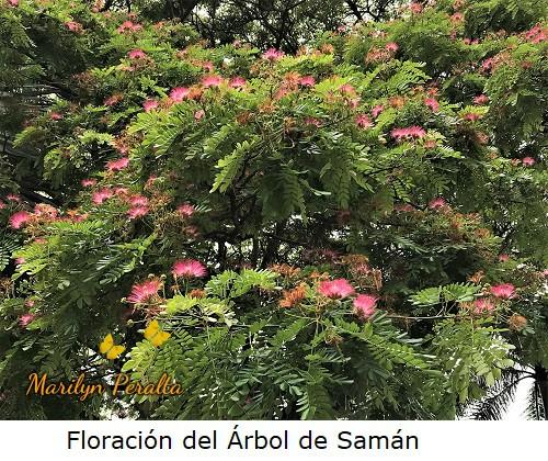 Floracion del Árbol de Saman.