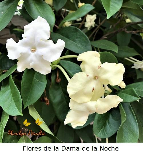 Flores del arbusto de Dama de la Noche