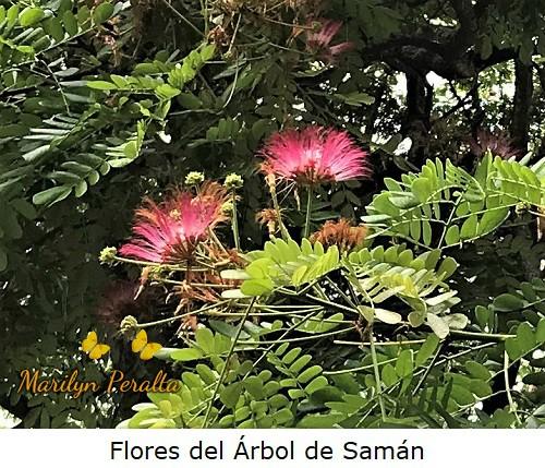Flores del Árbol de Saman.