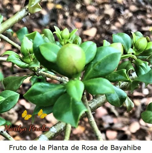 Fruto globoso de la Planta de Rosa de Bayahibe.