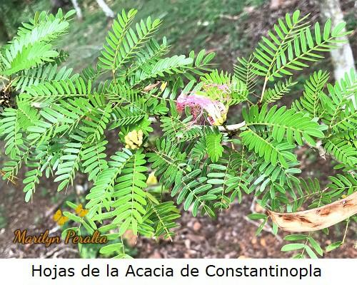 Hojas foliadas de la Acacia de Constantinopla.