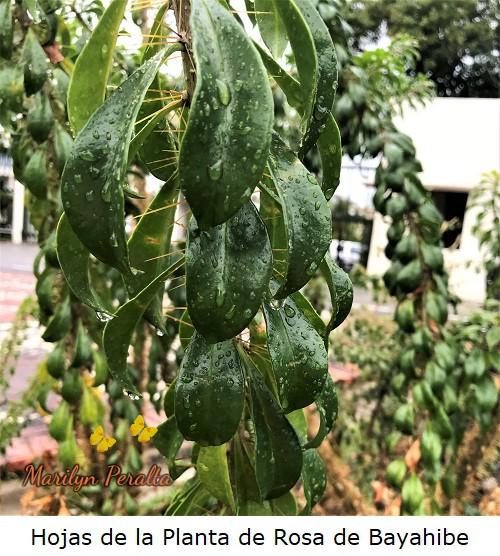Hojas verdes de la Planta de Rosa de Bayahibe.