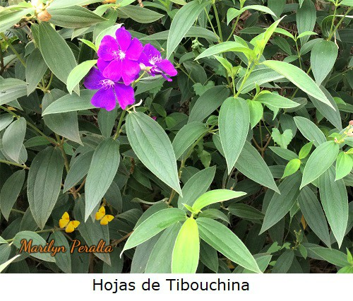 Hojas de la Tibouchina