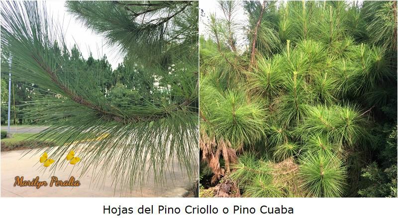 Hojas en forma de agujas del Pino Criollo