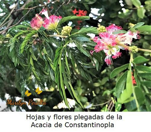 Hojas y flores cerradas de la Acacia de Constantinopla.