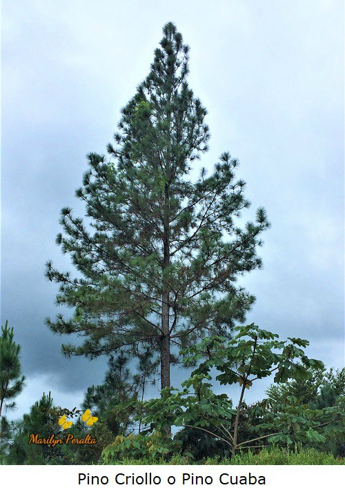 Pinus occidentalis