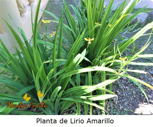 Lirio Amarillo o Iris Amarillo