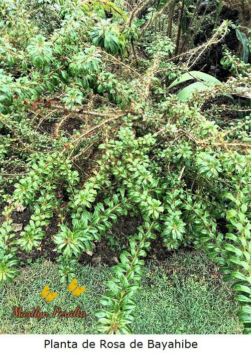 Planta de Rosa de Bayahibe