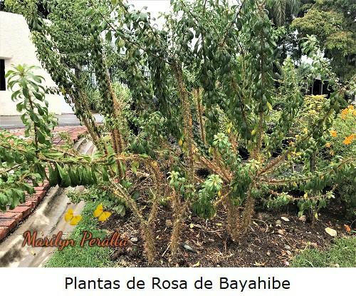 Plantas de Rosa de Bayahibe