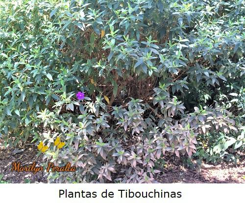 Arbusto de Tibouchinas