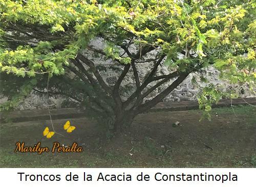 Tallo ramificado de la Acacia de Constantinopla