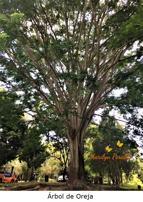 Árbol de Oreja
