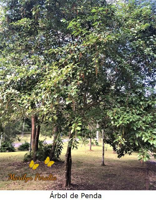 Árbol de Penda