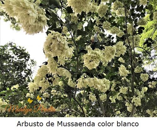 Arbusto de Mussaenda color blanco