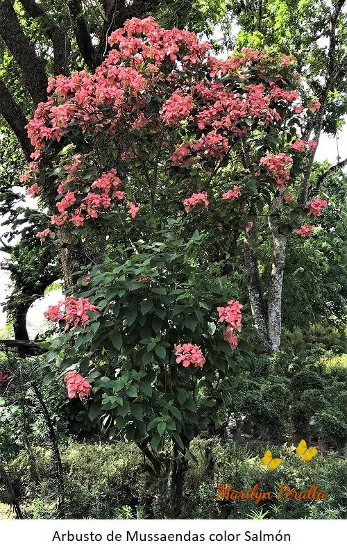 Arbusto de Mussaendas color salmon