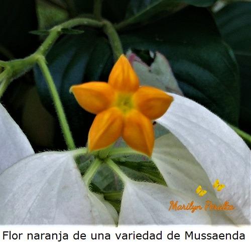 Flor naranja de una variedad de Mussaenda