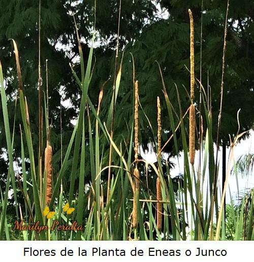 Flores masculinas y femeninas de la Planta de Eneas o Junco.
