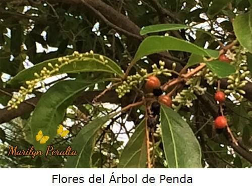 Racimos de flores del árbol de Penda.