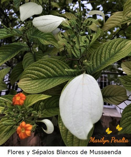 Flores y sépalos blancos de Mussaenda