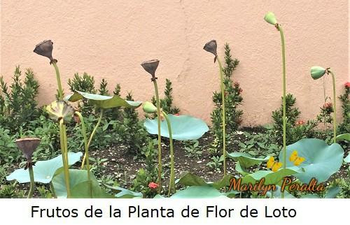 Frutos de la planta de Flor de Loto.