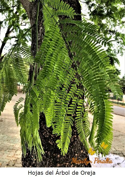 Hojas del Árbol de Oreja.